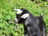 Filhote de cabra comendo