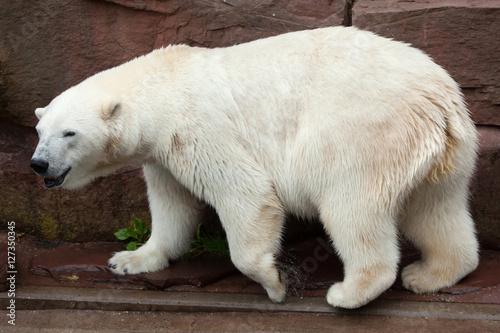 Aluminium Ijsbeer Polar bear (Ursus maritimus).