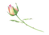 Watercolor  rose bud - 127350799