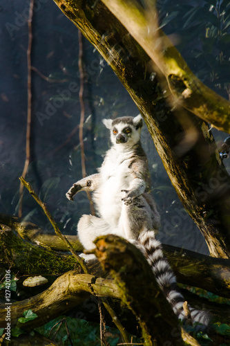 Ringtail monkeys with big, bright range eyes Poster