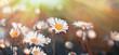 Daisy flower in meadow - beautiful daisy flowers lit by sun rays