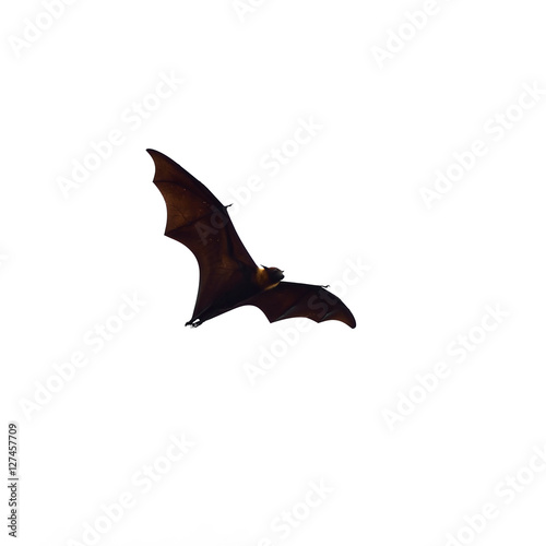 flying fox - huge bat isolated on white background Poster