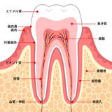 歯 断面図