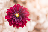 hybrid red Dahlia flower, selective focus