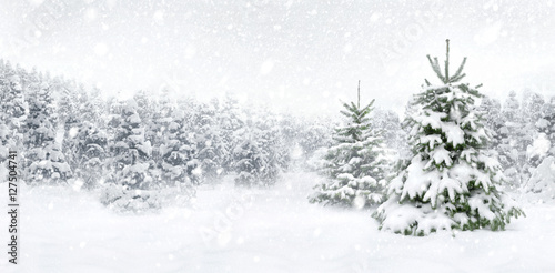 Sapins en neige au bord de la forêt, scène lumineuse au format panoramique pour Poster
