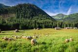 Beautiful grazing herd of sheep at dawn, Tatra Mountains - 127508967