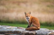 Fox On A Stone Wall