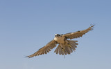 Falconer is training Peregrine Falcon in a desert near Dubai