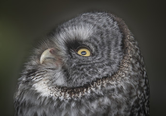Great Gray Owl Looking Up