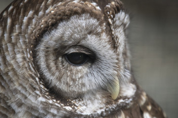 Great Gray Owl Profile