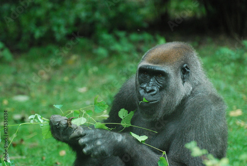 Hungry Gorilla Eating Leaves Poster