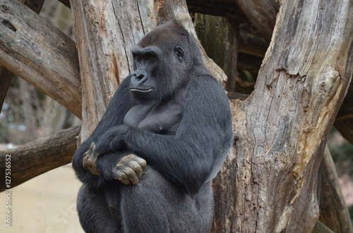 Poster Gorilla Leaning Against a Dead Tree