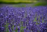 Fragrant purple lavendar meadow