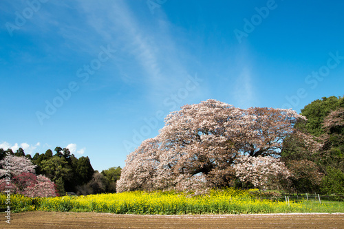 Poster 満開の桜
