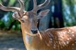 Close-up photography of fallow deer