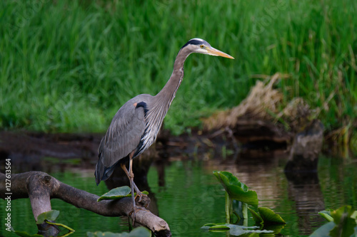 Poster Great Blue Heron