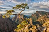 Dwarf pine tree on Sokolica peak, Pieniny, Poland - 127625178