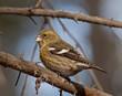 White-winged Crossbill - female