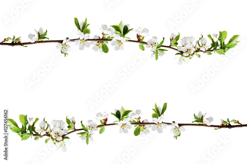 Poster Spring flowering branches of Cherry blossom isolated on white background