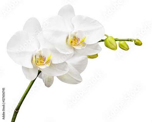 Three day old white orchid isolated on white background. Closeup. - 127656745