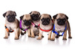Five pug puppy (isolated on white background)
