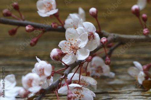 Poster cherry blossom sakura on rustic wooden