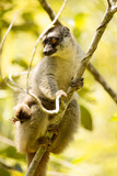 Common Brown Lemur, Eulemur fulvus, female with young, Madagascar