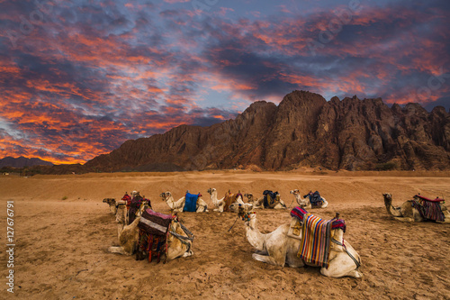 Poster Many camels on the background of desert landscape and dramatic s