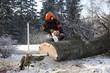 Proffesional Lumberjack Cutting big Tree during the Winter wearing protection clothes using chainsaw close up view.