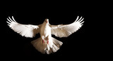 Fototapety white dove with open wings flies on a black background