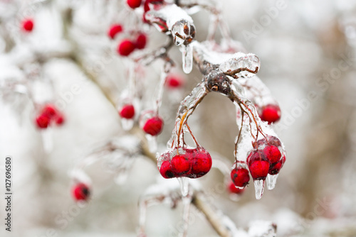 red frozen berries in the ice Poster