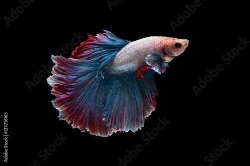 Betta fish, siamese fighting fish, betta splendens (Halfmoon bet Poster