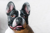 Cute French Bulldog posing at camera