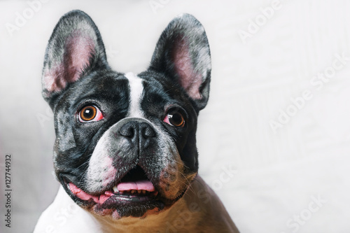 Poster Franse bulldog Cute French Bulldog posing at camera