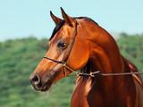 portrait of bay beautiful arabian stallion at mountain background - 127753986