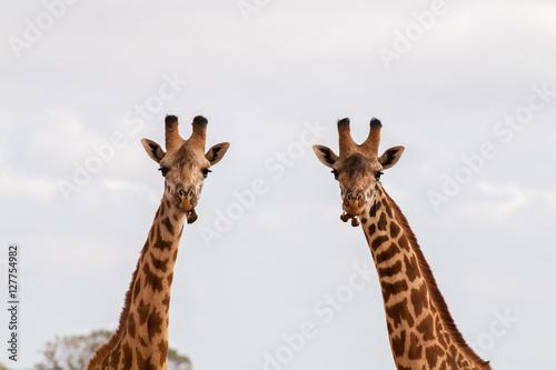 Plakát, Obraz Zwei Giraffen im Portrait