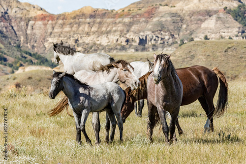 Billede Wild horses in Theodore Roosevelt National Park.