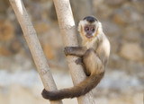 Young capuchin monkey