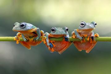Javan tree frog
