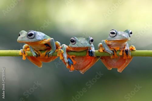 Fotobehang Kikker Javan tree frog