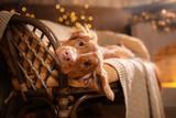 Happy New Year, Christmas, Dog Nova Scotia Duck Tolling Retriever, holidays and celebration