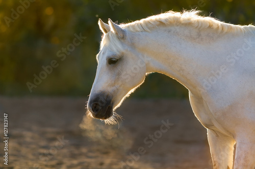 Poster Grey horse portrait in sunlight