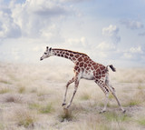 Young Giraffe Running
