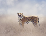 Bengal Tiger in the Grassland