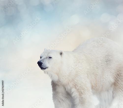 Aluminium Ijsbeer Polar Bear on the Snow