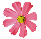 light pink flower  kosmeya, white isolated background with clipping path. Closeup. no shadows. yellow mid. Nature.