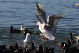 чайки и утки на Чёрном море зимой