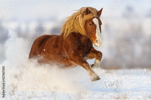 Poster Red horse with long blond mane run gallop in winter snow field