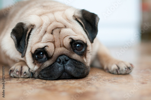 Poster sad dog pug lying floor