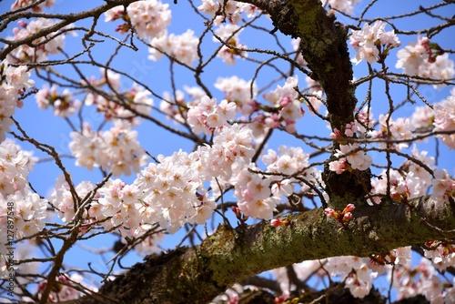 Poster Cherry Blossoms of Daigo-ji, Kyoto, Japan